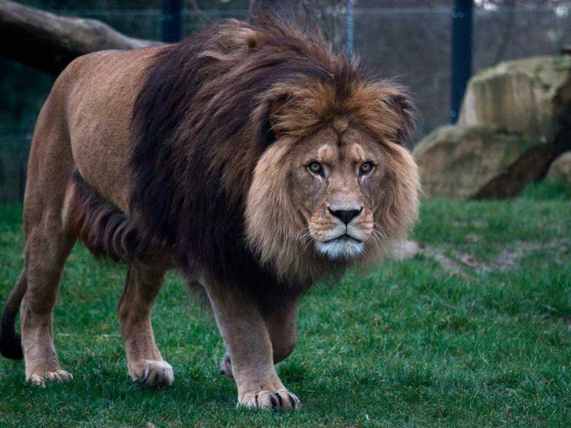 Leão olhando para tela