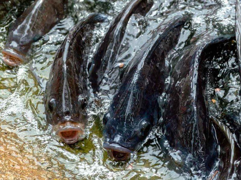 Peixe agua doce, tilápias